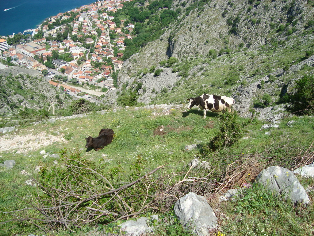 Rakija bar lady's other cow, Kotor